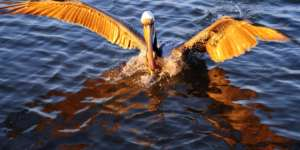 Pelican in water flapping wings.