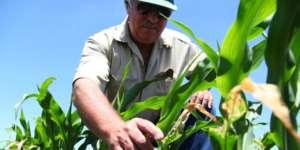 Man inspecting crop plants.